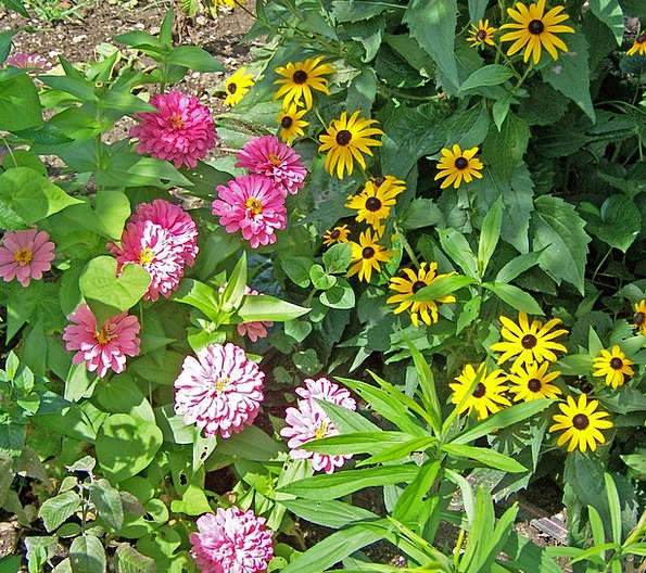 Flowers Plants Landscapes Cyclical Nature Zinnia S