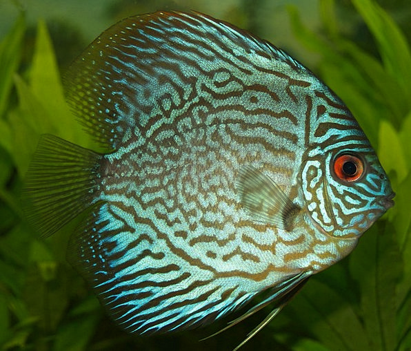 Perch Roost Discus Cichlid Cichlid Freshwater Fish