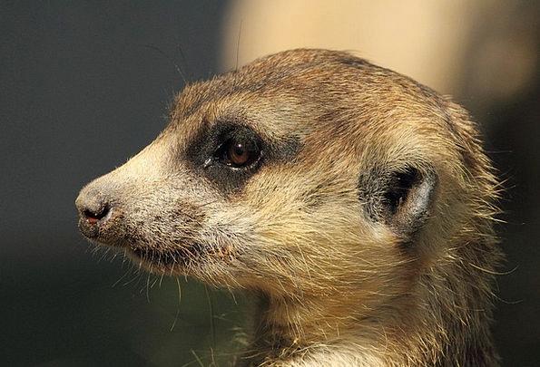 Mongoose Landscapes Nature Wildlife Meerkat Nature