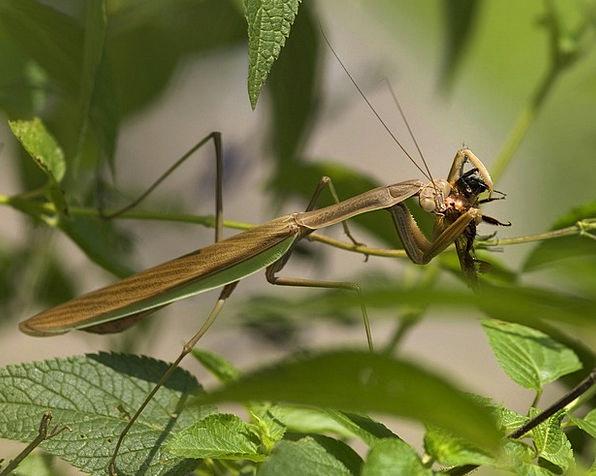 Praying Mantis Mantodea Fishing Locust Mantids Fli