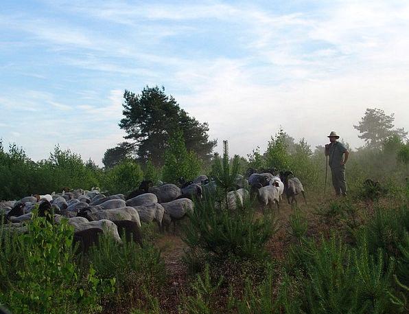 Schäfer Landscapes Ewe Nature Flock Herd Sheep Nat