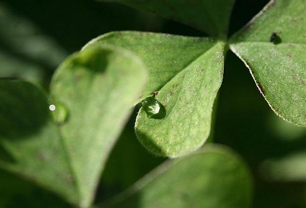 Four Leaf Clover Landscapes Nature Leaf Foliage Cl