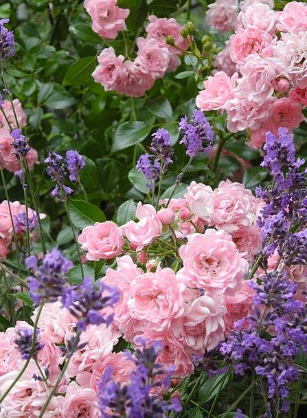 Rose Design Landscapes Floret Nature Blütenmeer Fl
