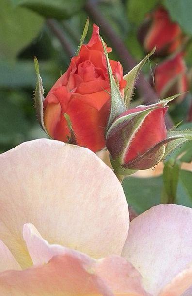Rose Design Loving Orange Carroty Tender Flower Fl