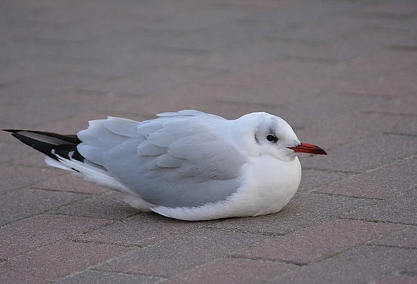 Seagull Cold Emotionless Black Headed Gull Winter