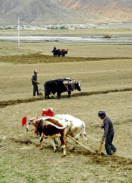 Tibet Landscapes Menfolk Nature Working Employed M