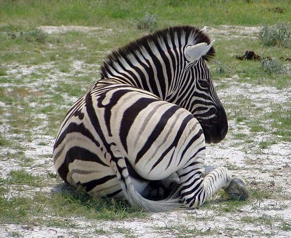 Zebra Africa Black And White Striped Namibia Wild