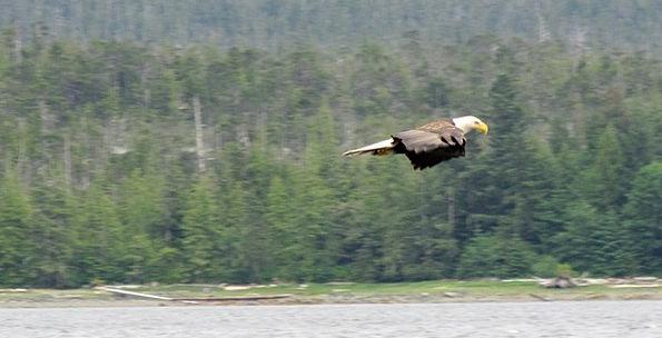 Eagle Bare Raptor Bald Predator Marauder Gliding W