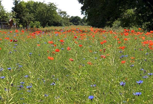 Flower Meadow Meadow Poppies Red Flowers Field Are