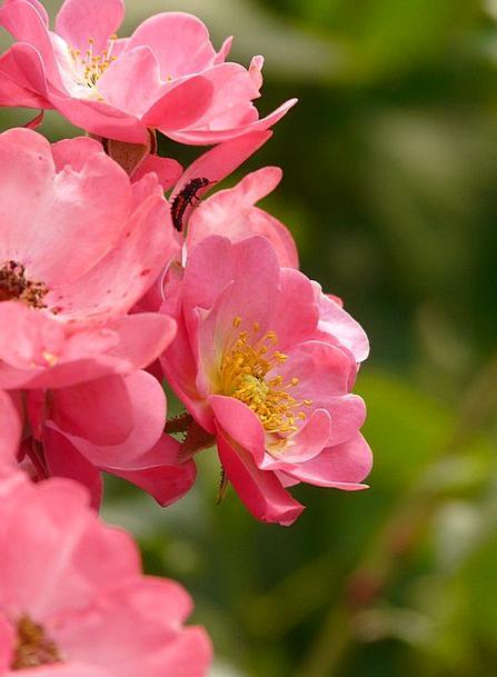 Rose Design Pink Flushed Rose Flower Smell Odor Pe