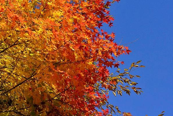 Autumn Fall Maple Autumnal Leaves