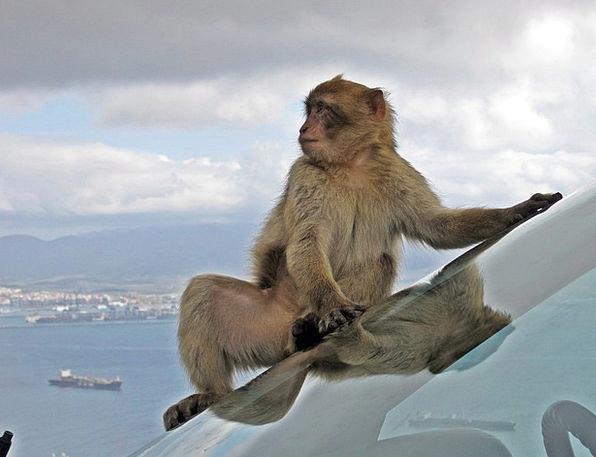 Barbary Macaque Nature Monkey Ape Wildlife Animal