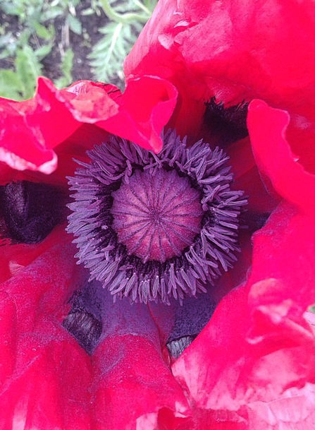 Early Summer Floret Red Bloodshot Flower Poppy Pop