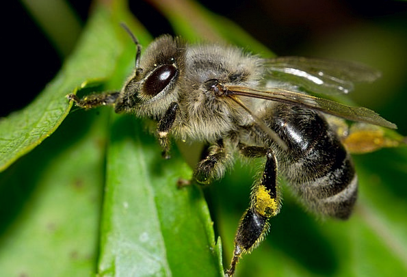 Bee Insect Bug Pollen Macro Instruction Detail Par