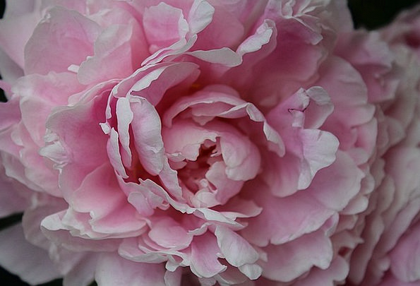 Peony Paeoniaceae Baby Rose Double Flower Flower P