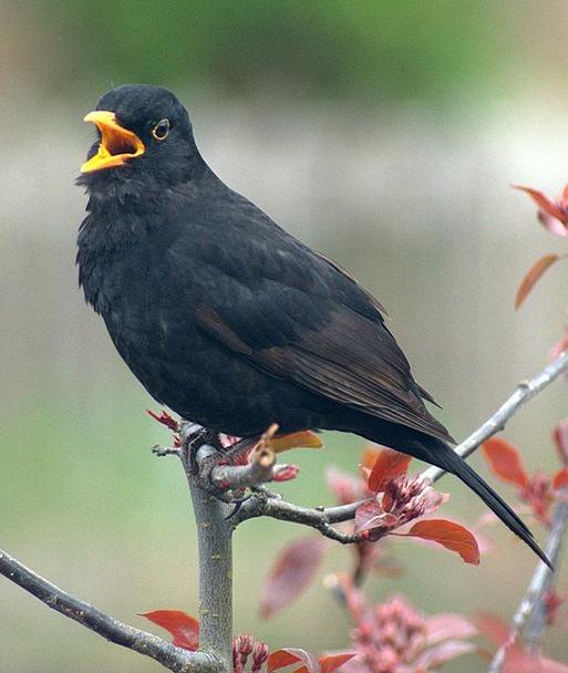 Blackbird Fowl Call Noise Bird Crowing Cock-a-dood