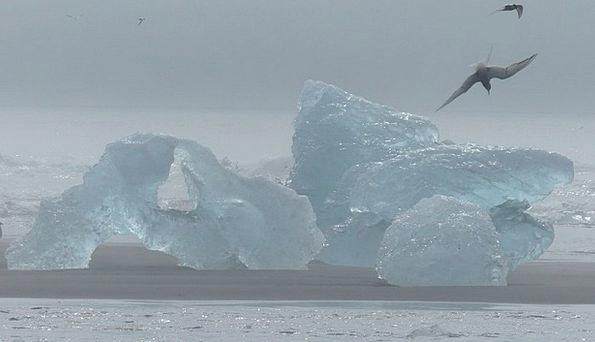 Iceland Bird Fowl Iceberg Tern