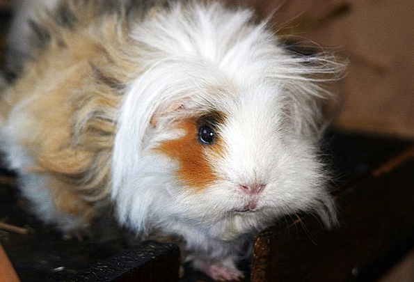 Hairy guinea pig photo
