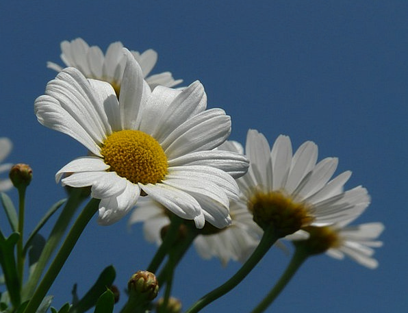 Marguerite Landscapes Nature Argyranthemum Frutesc