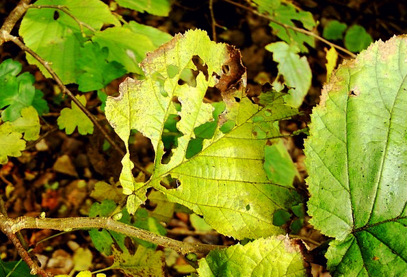 Beech Leaves Eaten On Beech Yellowish Fall Leaves