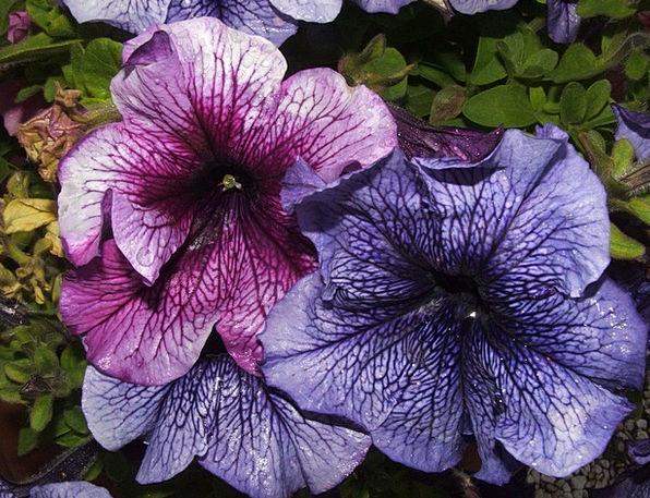 Forget Me Floret Blue Flower Flower Blue Flowers F