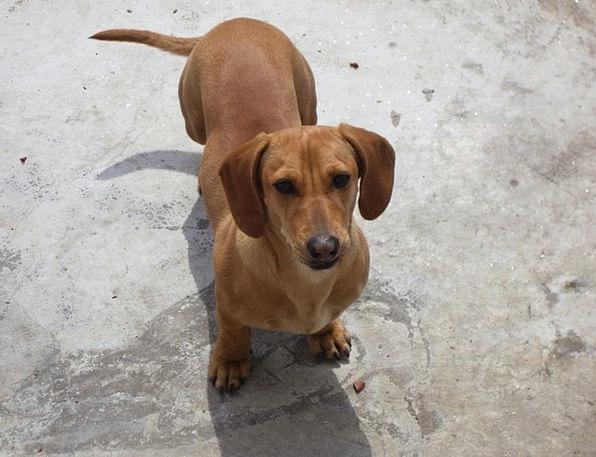 Dachshund Puppy Brat Dog Pedigree Canine Doglike M