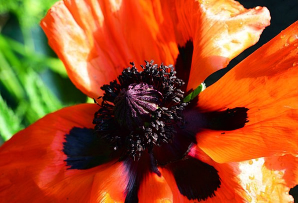 Oriental Poppy Crimson Red Bloodshot Scarlet Papav