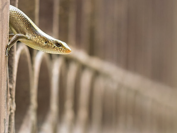 Skink Reptile Lizard Sunskink Guichenoti Pale-Flec