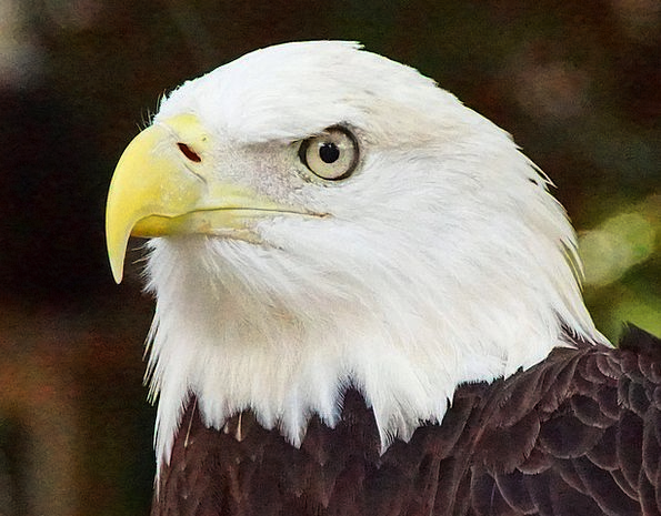 Bald Eagle Landscapes Nature Nature Countryside Ea
