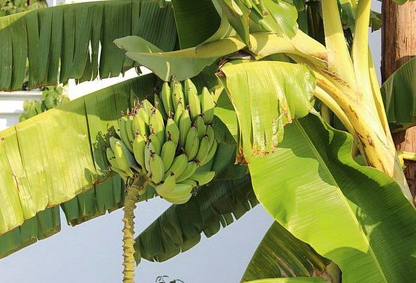 Bananas Crazy Tribute Tree Sapling Palm