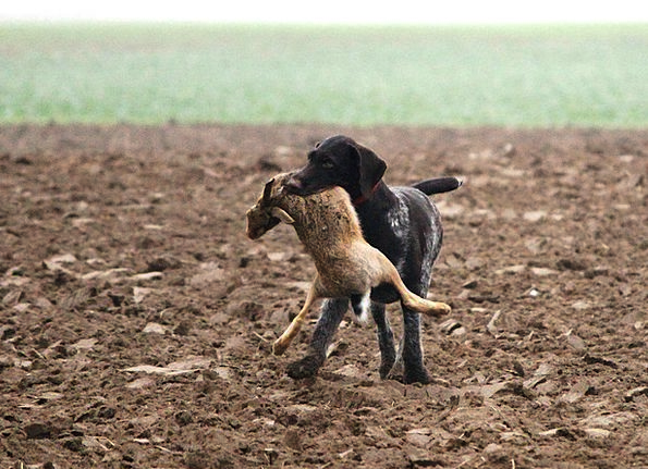 Dog Canine Hunting Shooting Wirehaired Race Compet