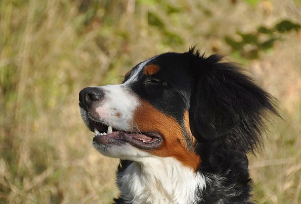 Bernese Mountain Dogs Canine Youngster Child Dog F