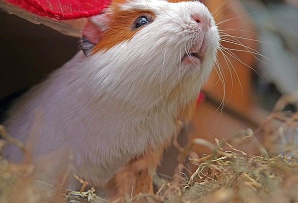 Guinea Pig Cuy Rodent Pet Domesticated Animal Phys