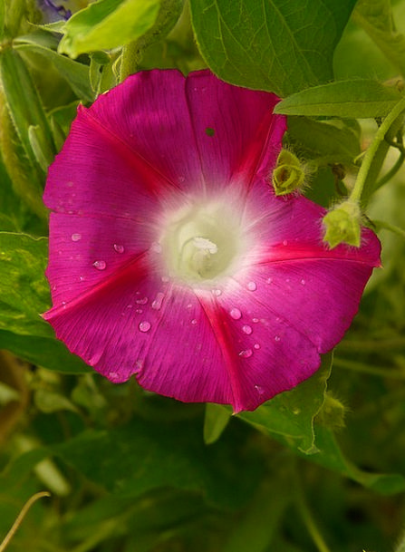 Morning Glory Superb Thread Ipomoea Winds Breezes