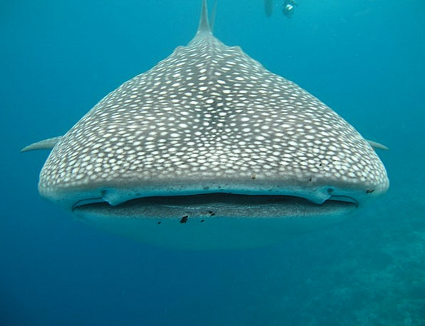 Whale Shark Sea Marine Maldives