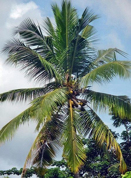 Coconut Landscapes Tribute Nature Tree Sapling Pal