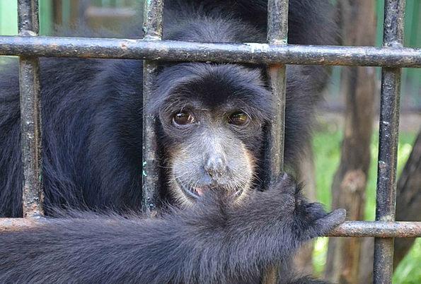 Monkey Chimpanzee Emcaged Ape Cage Birdcage Animal