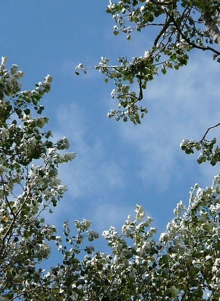 Leaves Greeneries Tree Sapling Populus Alba Poplar