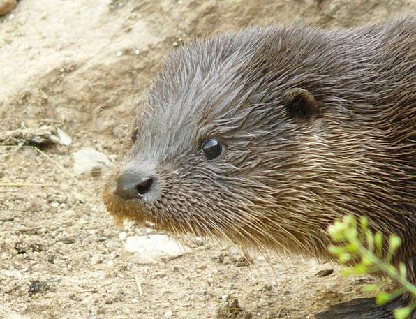 Otter Land Predator Marten Swimmer Bather Water Fu
