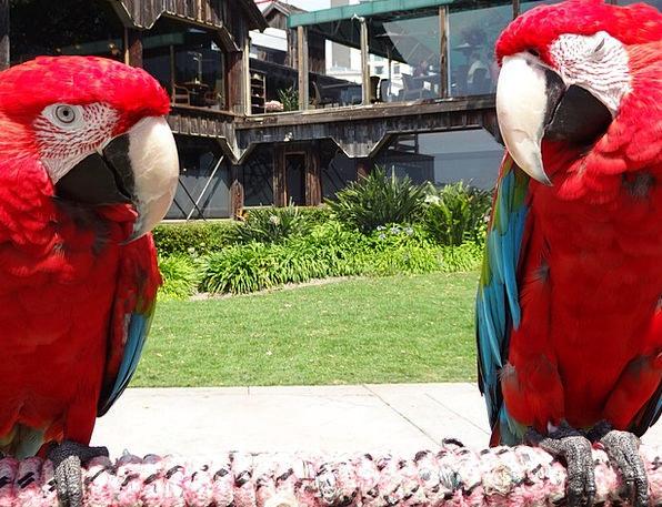 Parrots Imitators Natures Red Bloodshot Birds Park