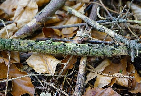 Ant Street Leaves Greeneries Dead Wood Dendrolasiu