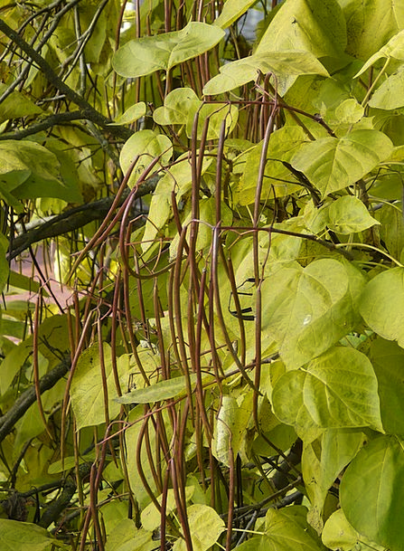 Catalpa Shells Light Green Pods Ornamental Decorat