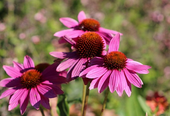 Coneflowers Landscapes Floret Nature Garden Plot F