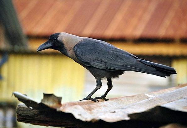 Crow Caw Fowl Black Dark Bird Raven Scoff