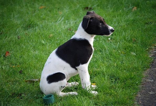 Lurcher Brat Canine Doglike Puppy Dog Pet Black Si