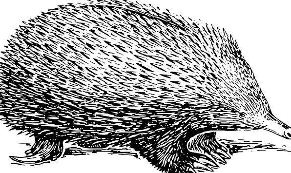 Porcupine Physical Mammal Creature Animal Free Vec