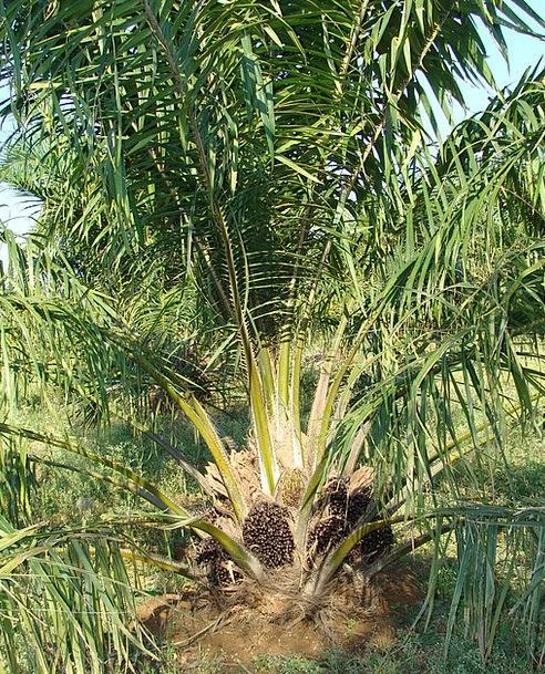 Oil Palm Tree Sapling Fruit Bunch Vegetable Oil Ho