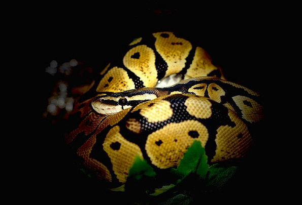 Ball Python Snake Serpent Python Constrictor Jungl