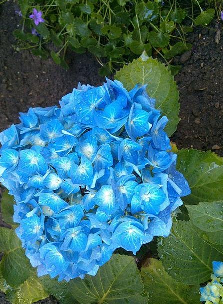 Hydrangea Azure Garden Plot Blue Greenhouse Hydran