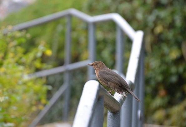 Blackbird Fowl Female Feminine Bird Animal Physica